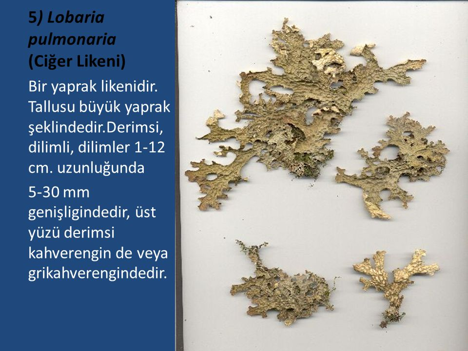 5) Lobaria pulmonaria (Ciğer Likeni)