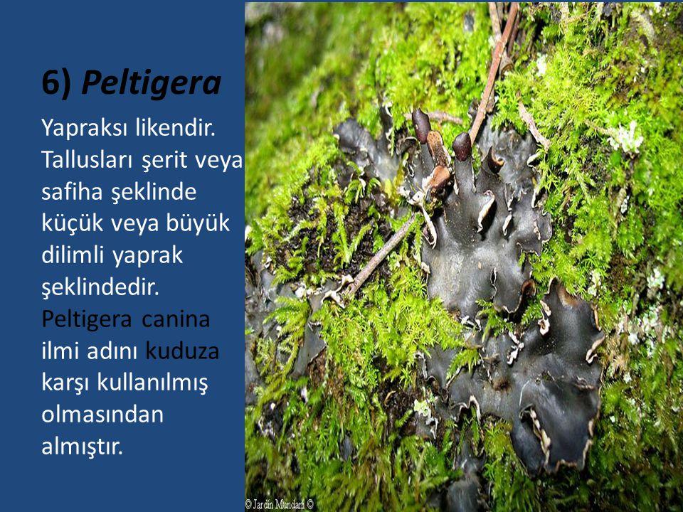 6) Peltigera