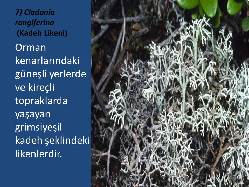 7) Cladonia rangiferina (Kadeh Likeni)
