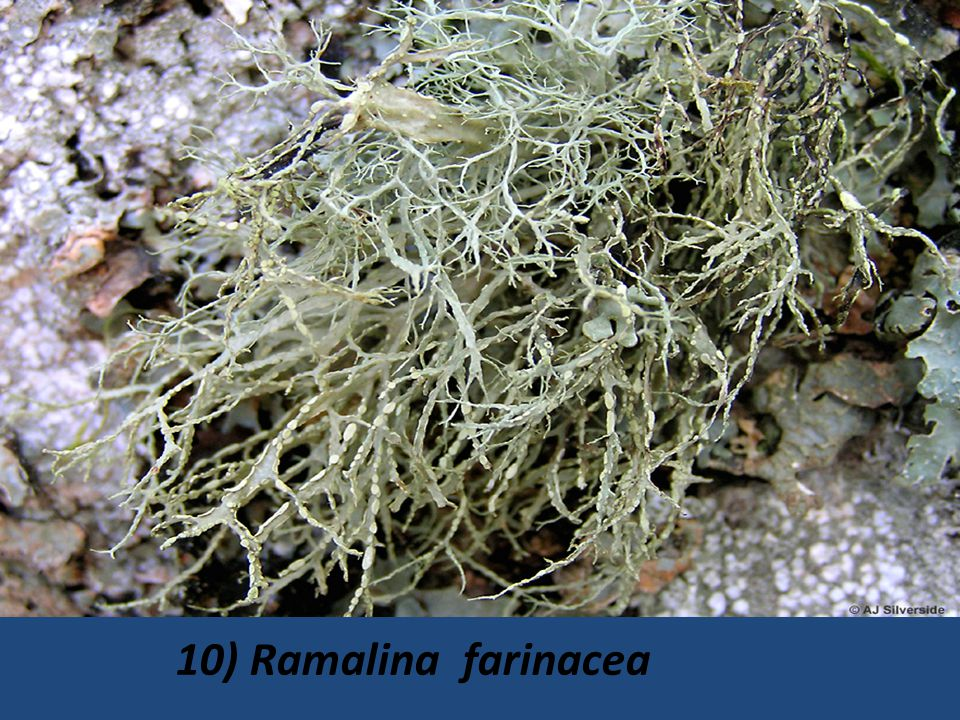 10) Ramalina farinacea