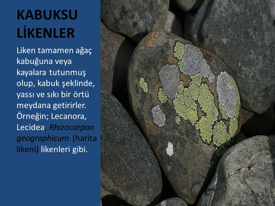 KABUKSU LİKENLER