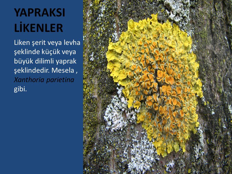 YAPRAKSI LİKENLER Liken şerit veya levha şeklinde küçük veya büyük dilimli yaprak şeklindedir.