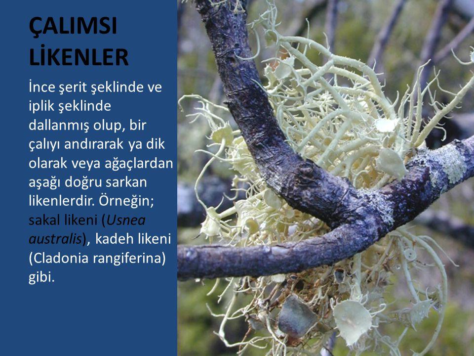 ÇALIMSI LİKENLER