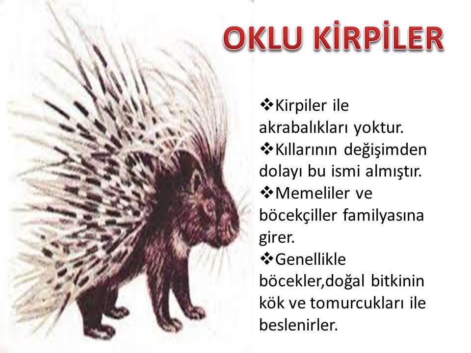 OKLU KİRPİLER Kirpiler ile akrabalıkları yoktur.