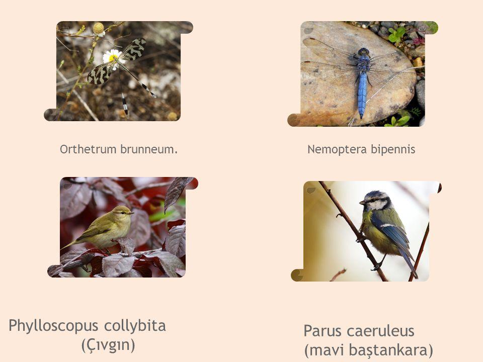(Çıvgın) Parus caeruleus (mavi baştankara) Orthetrum brunneum.