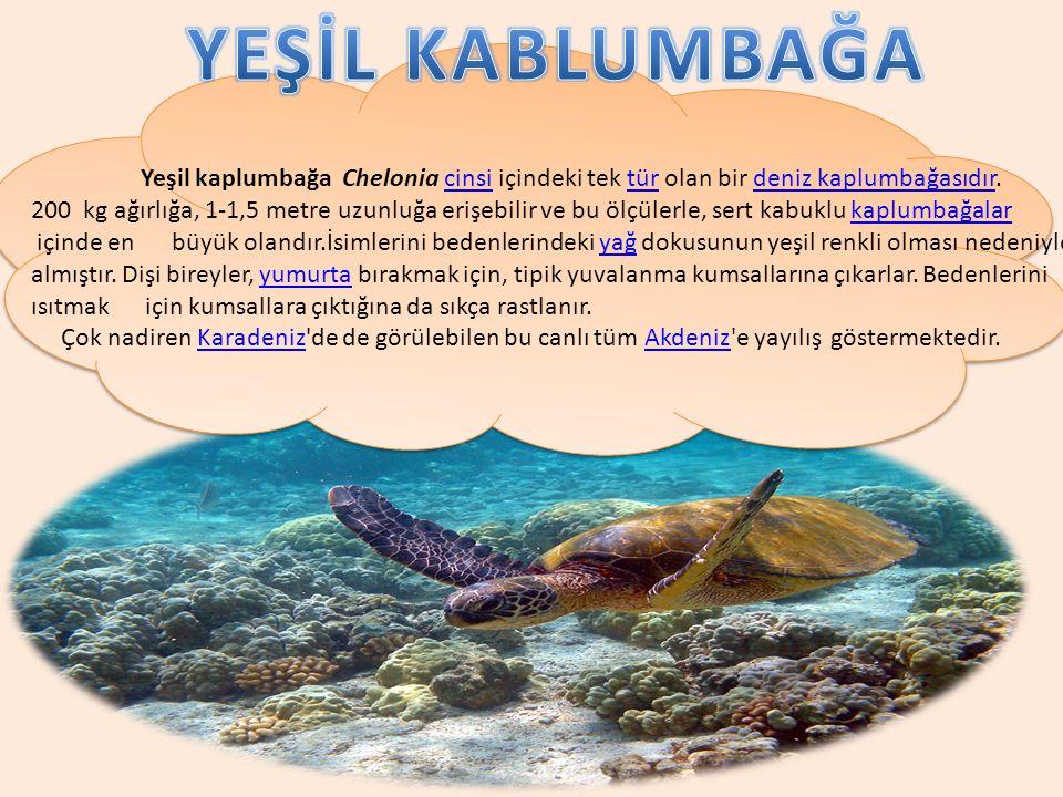 YEŞİL KABLUMBAĞA
