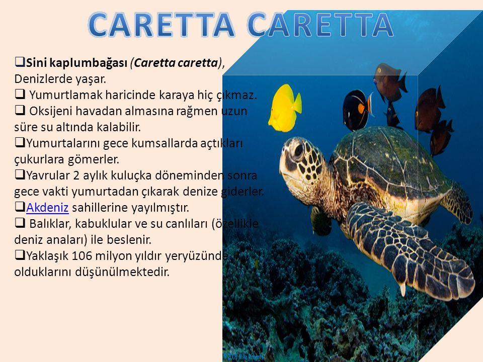 CARETTA CARETTA Sini kaplumbağası (Caretta caretta), Denizlerde yaşar.