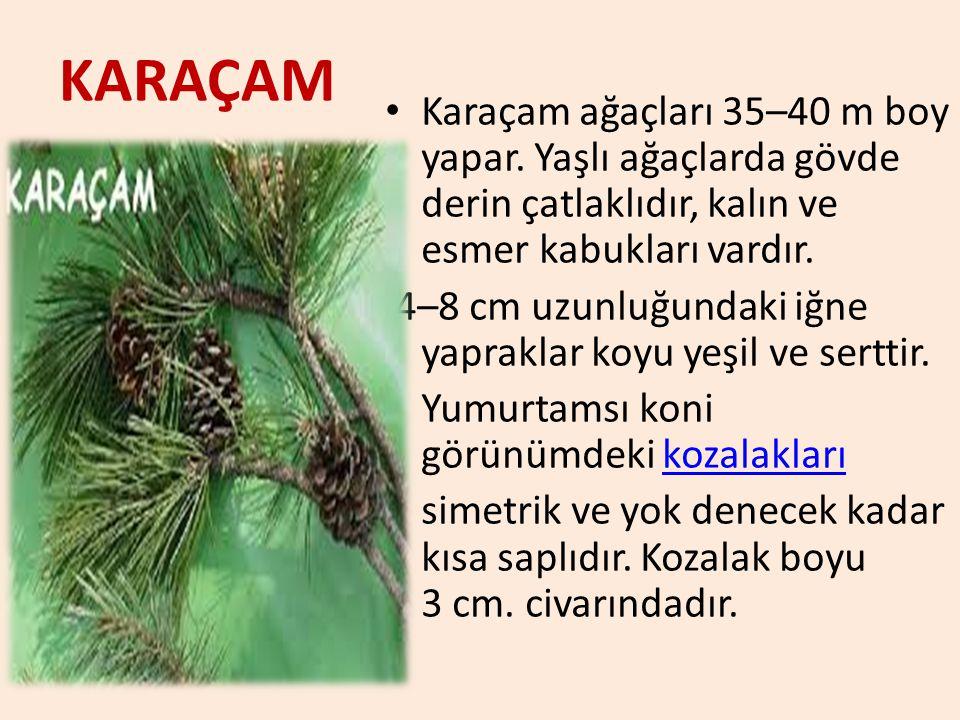 KARAÇAM Karaçam ağaçları 35–40 m boy yapar. Yaşlı ağaçlarda gövde derin çatlaklıdır, kalın ve esmer kabukları vardır.