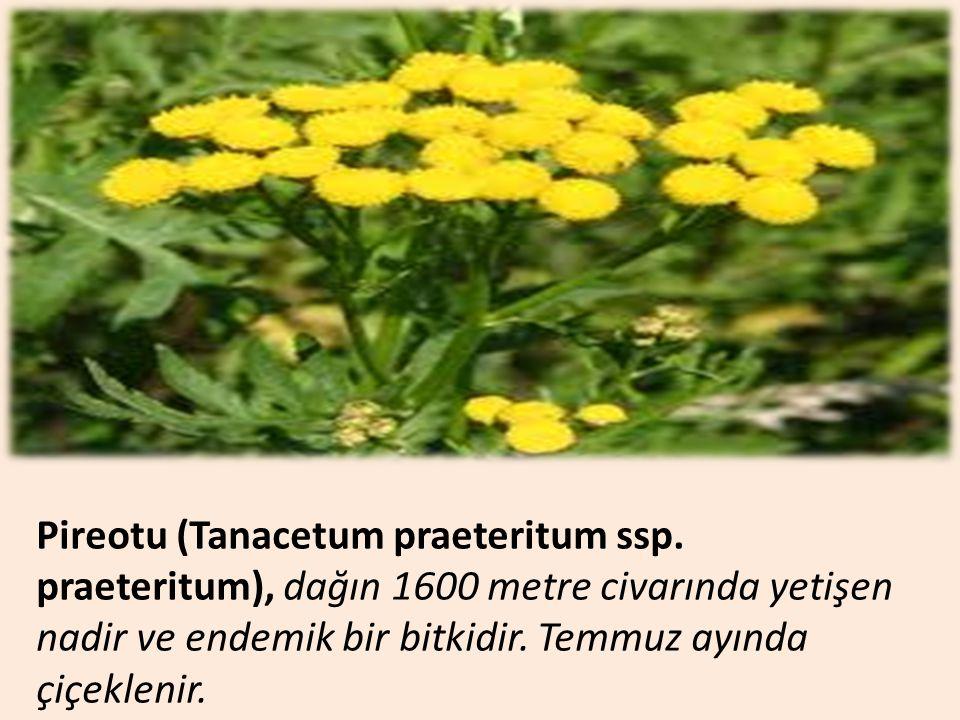 Pireotu (Tanacetum praeteritum ssp