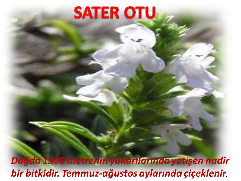 SATER OTU Dağda 1500 metrenin yukarılarında yetişen nadir bir bitkidir.