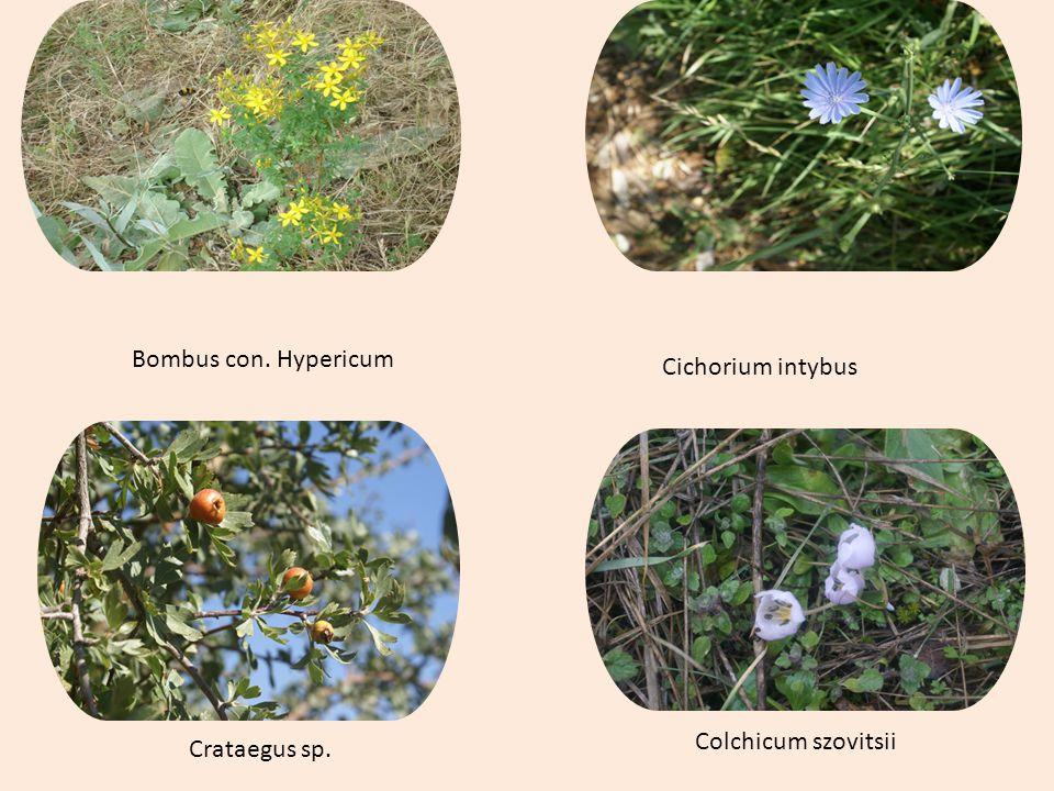 Bombus con. Hypericum Cichorium intybus Colchicum szovitsii Crataegus sp.