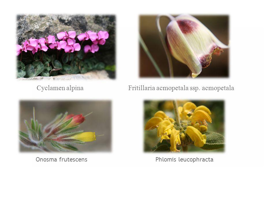 Onosma frutescens Phlomis leucophracta