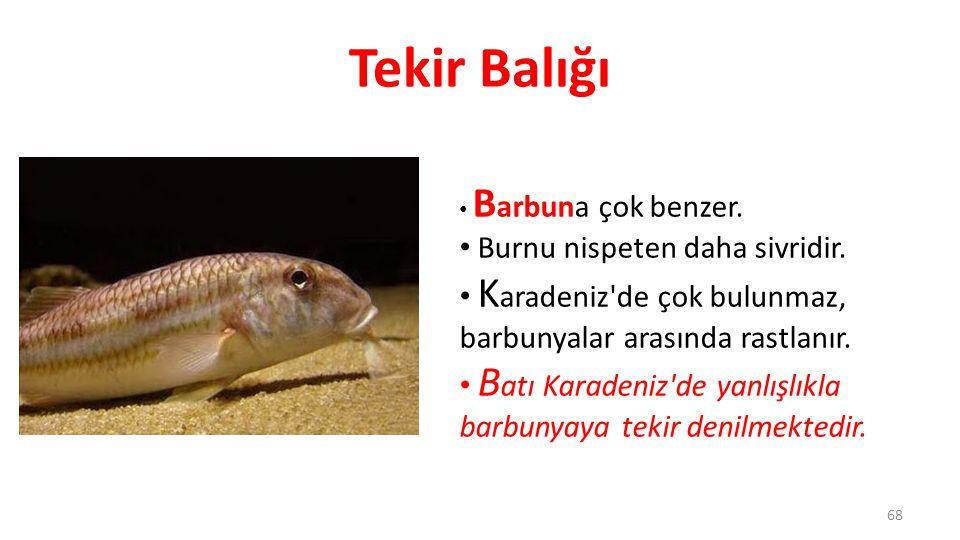 Tekir Balığı Burnu nispeten daha sivridir.