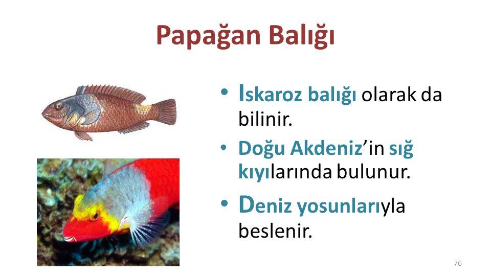Papağan Balığı Iskaroz balığı olarak da bilinir.