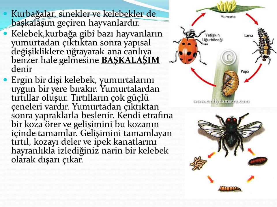 Kurbağalar, sinekler ve kelebekler de başkalaşım geçiren hayvanlardır.