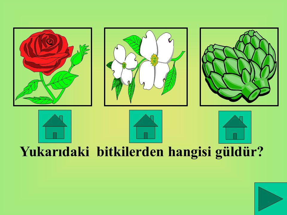 Yukarıdaki bitkilerden hangisi güldür