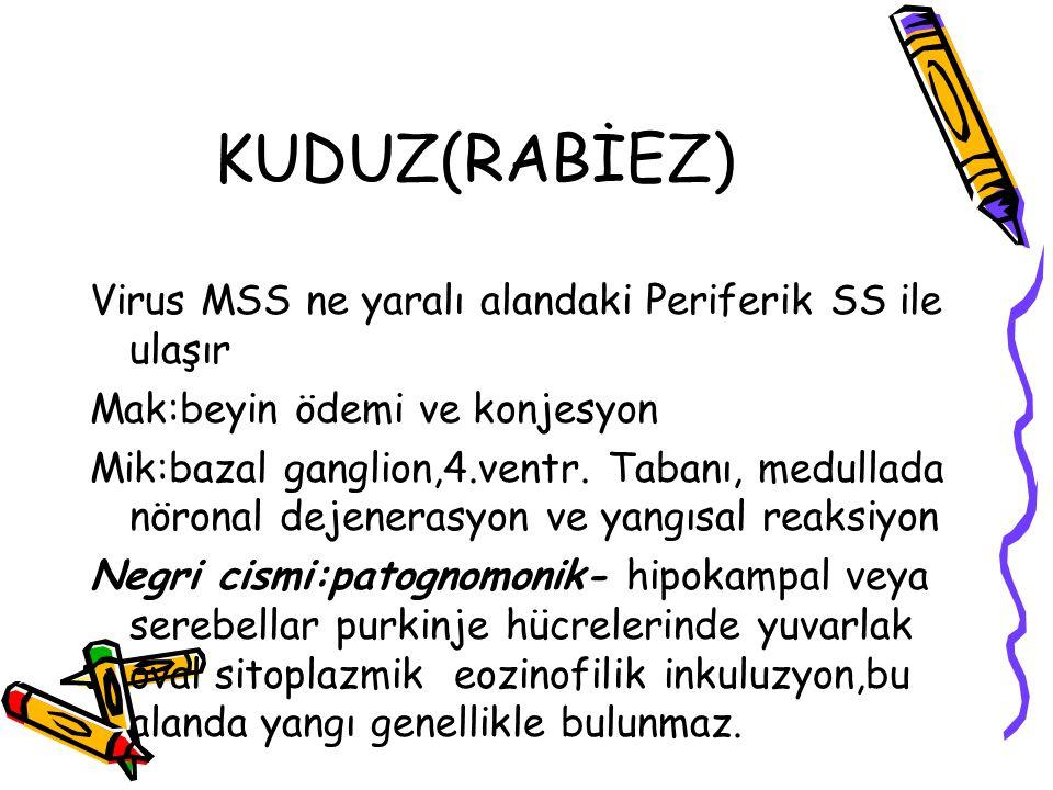 KUDUZ(RABİEZ) Virus MSS ne yaralı alandaki Periferik SS ile ulaşır