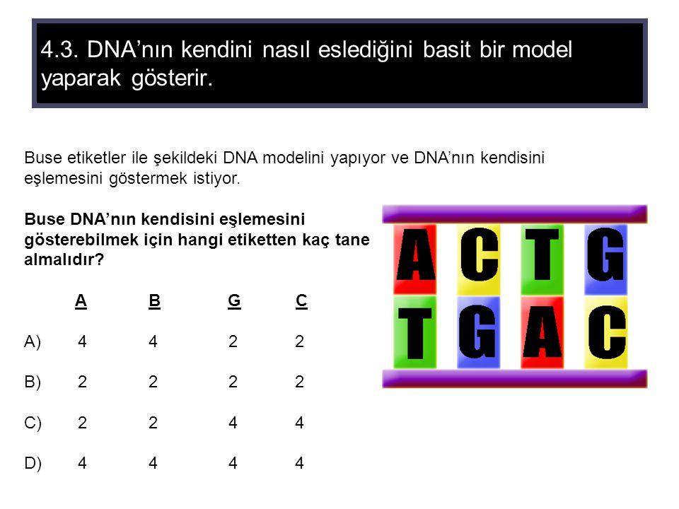 4.3. DNA'nın kendini nasıl eslediğini basit bir model yaparak gösterir.
