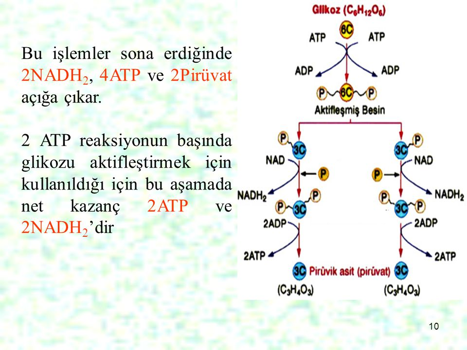Bu işlemler sona erdiğinde 2NADH2, 4ATP ve 2Pirüvat açığa çıkar.