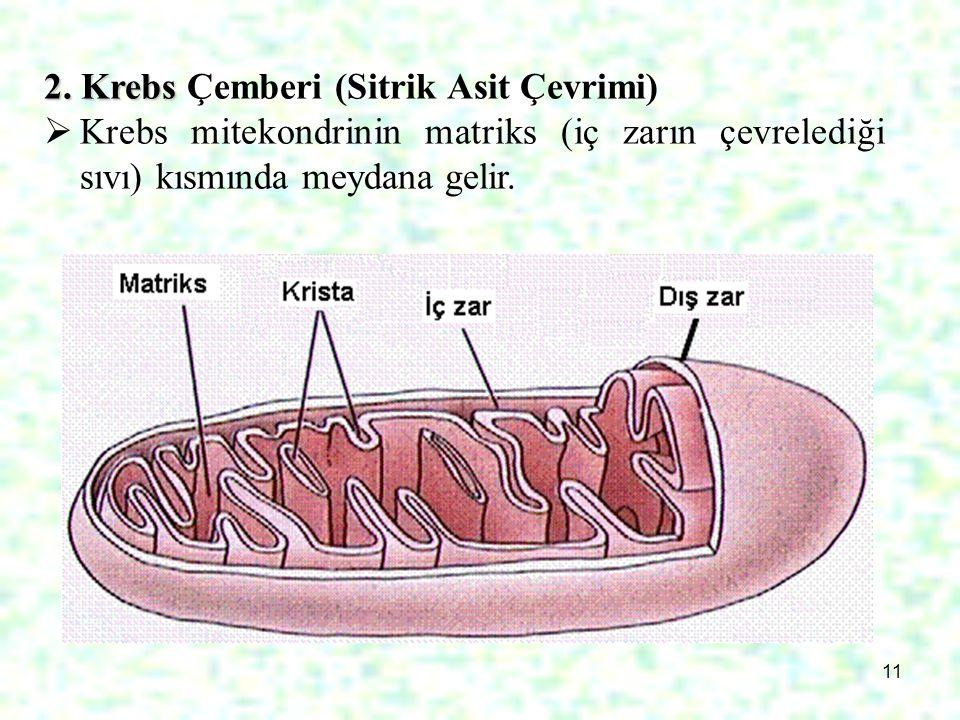 2. Krebs Çemberi (Sitrik Asit Çevrimi)