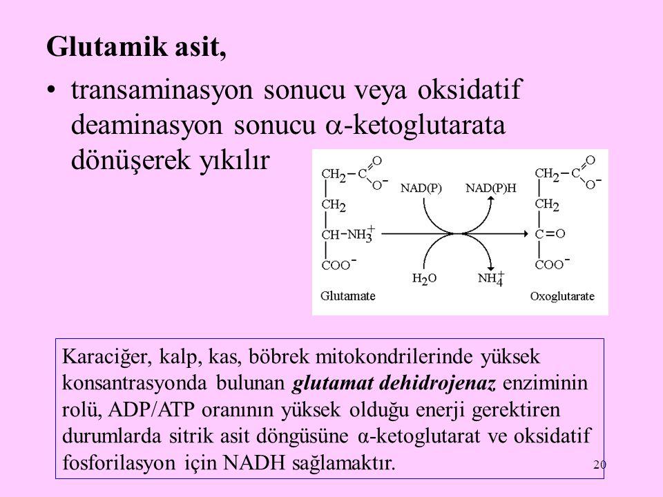 Glutamik asit, transaminasyon sonucu veya oksidatif deaminasyon sonucu -ketoglutarata dönüşerek yıkılır.