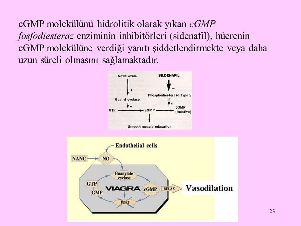 cGMP molekülünü hidrolitik olarak yıkan cGMP fosfodiesteraz enziminin inhibitörleri (sidenafil), hücrenin cGMP molekülüne verdiği yanıtı şiddetlendirmekte veya daha uzun süreli olmasını sağlamaktadır.