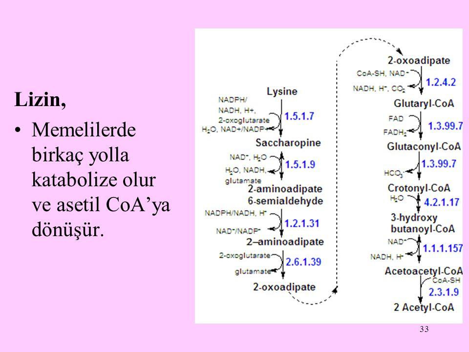 Lizin, Memelilerde birkaç yolla katabolize olur ve asetil CoA'ya dönüşür.