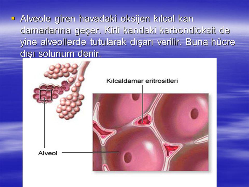 Alveole giren havadaki oksijen kılcal kan damarlarına geçer
