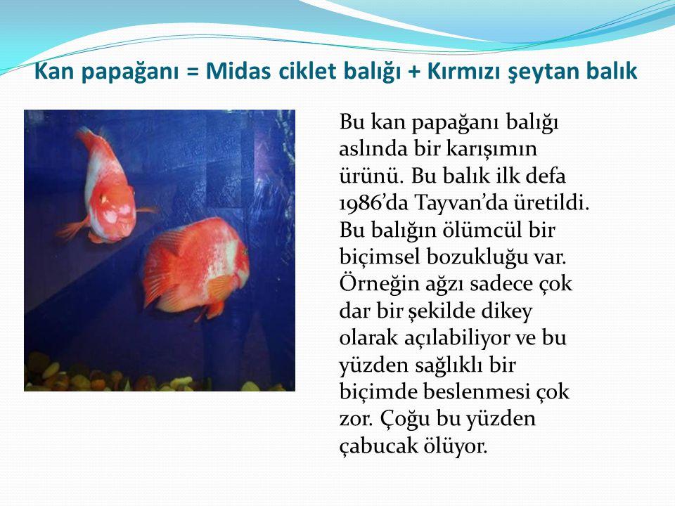 Kan papağanı = Midas ciklet balığı + Kırmızı şeytan balık