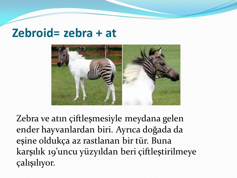 Zebroid= zebra + at