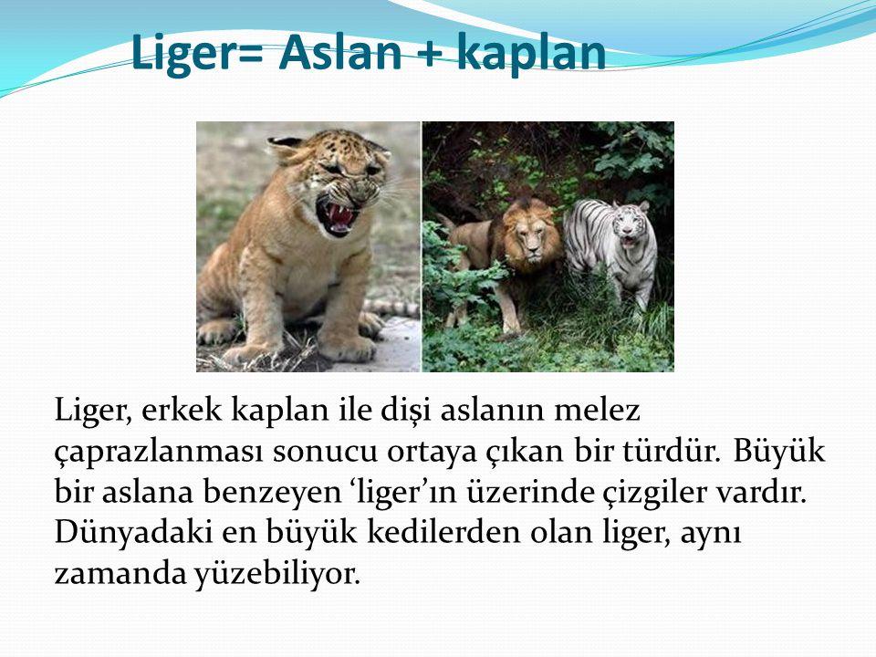 Liger= Aslan + kaplan