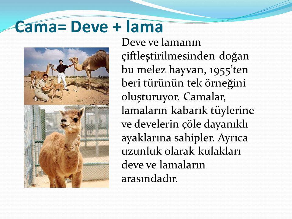 Cama= Deve + lama