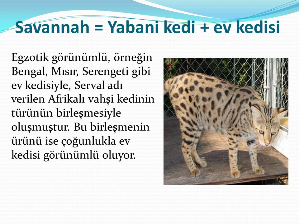 Savannah = Yabani kedi + ev kedisi