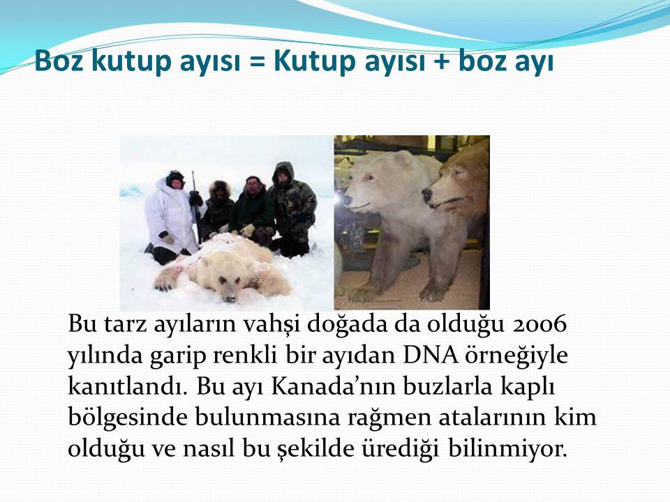 Boz kutup ayısı = Kutup ayısı + boz ayı