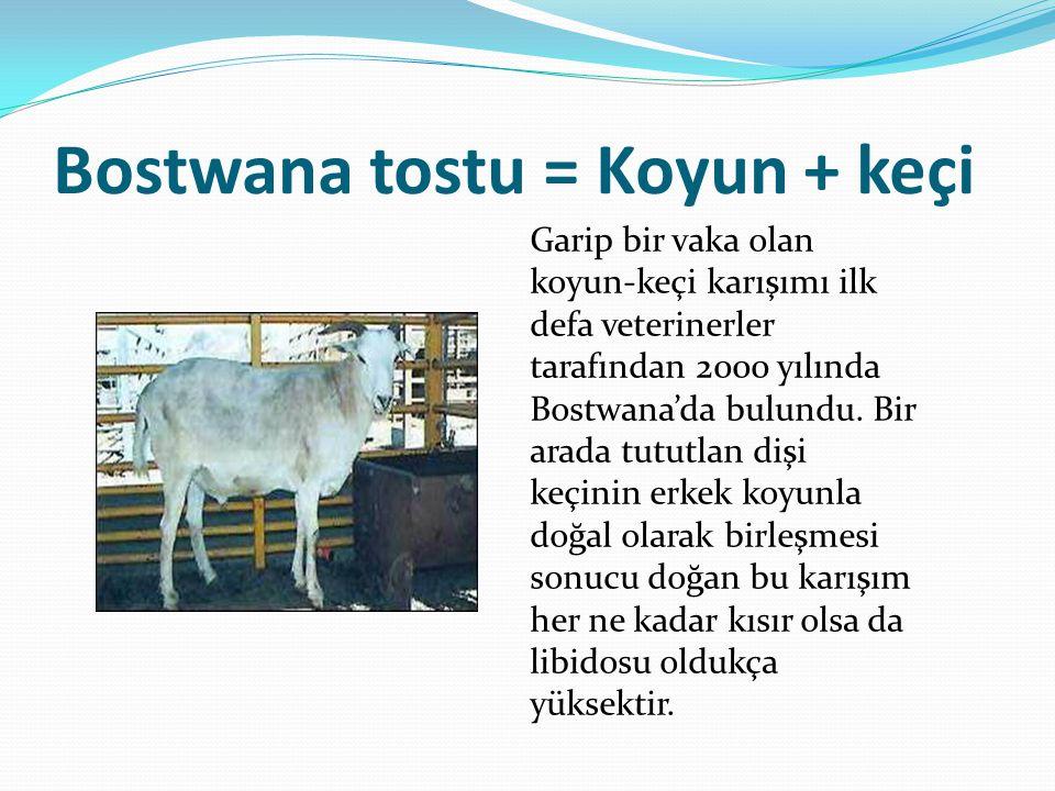 Bostwana tostu = Koyun + keçi