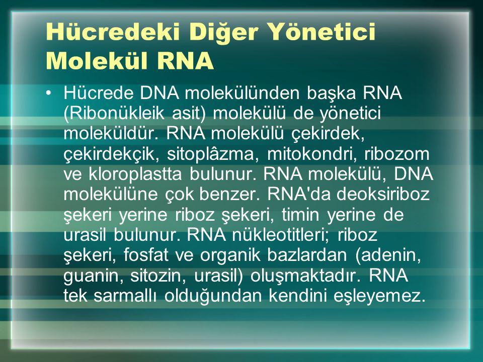 Hücredeki Diğer Yönetici Molekül RNA