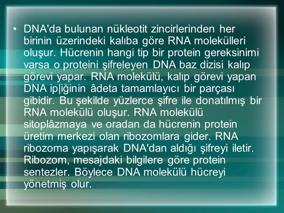 DNA da bulunan nükleotit zincirlerinden her birinin üzerindeki kalıba göre RNA molekülleri oluşur.