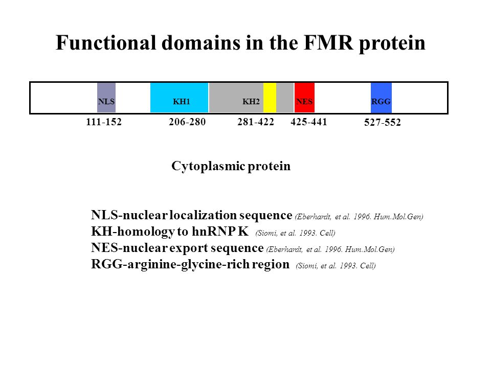Functional domains in the FMR protein