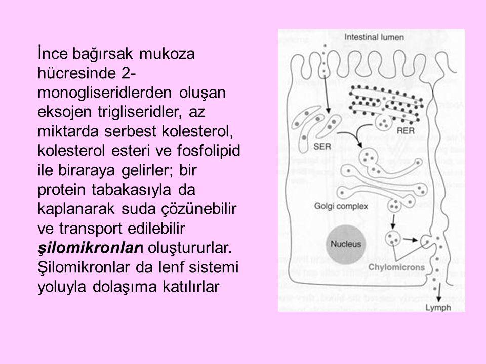 İnce bağırsak mukoza hücresinde 2-monogliseridlerden oluşan eksojen trigliseridler, az miktarda serbest kolesterol, kolesterol esteri ve fosfolipid ile biraraya gelirler; bir protein tabakasıyla da kaplanarak suda çözünebilir ve transport edilebilir şilomikronları oluştururlar.