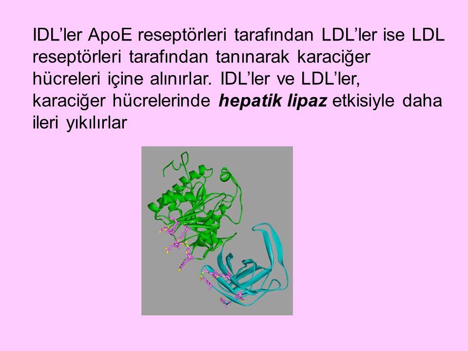 IDL'ler ApoE reseptörleri tarafından LDL'ler ise LDL reseptörleri tarafından tanınarak karaciğer hücreleri içine alınırlar.