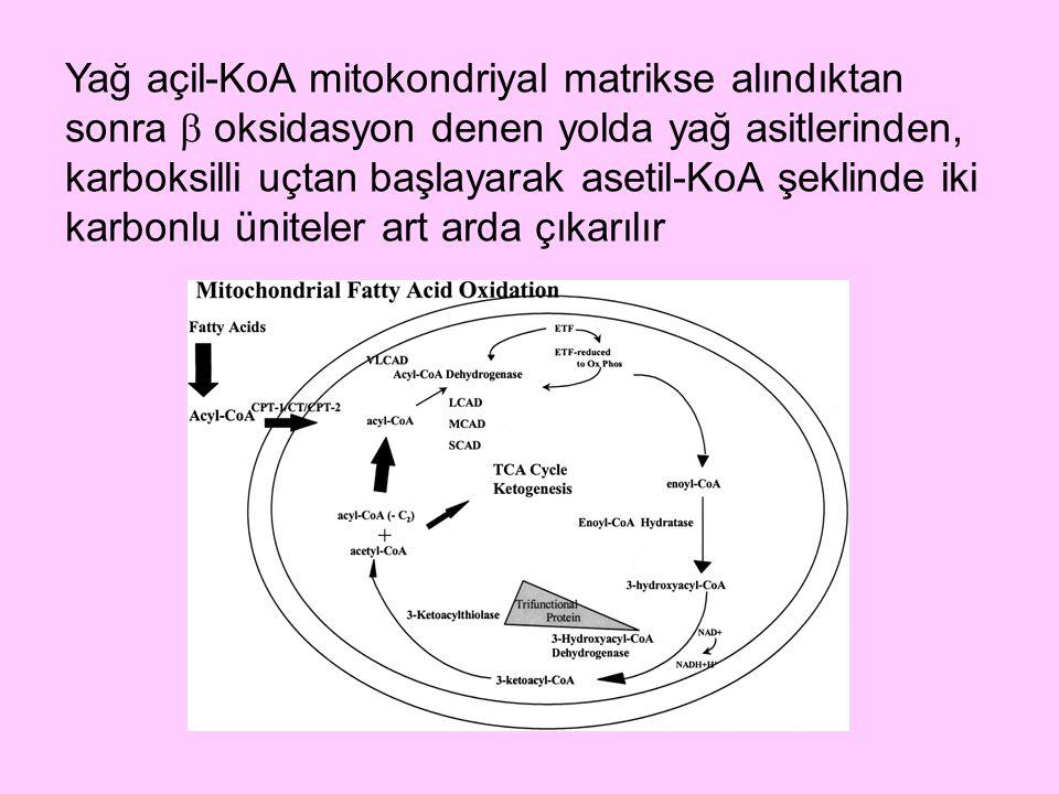 Yağ açil-KoA mitokondriyal matrikse alındıktan sonra  oksidasyon denen yolda yağ asitlerinden, karboksilli uçtan başlayarak asetil-KoA şeklinde iki karbonlu üniteler art arda çıkarılır
