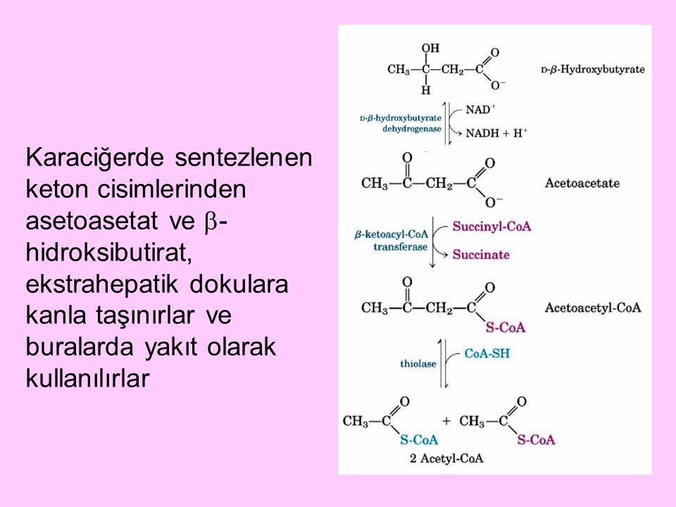 Karaciğerde sentezlenen keton cisimlerinden asetoasetat ve -hidroksibutirat, ekstrahepatik dokulara kanla taşınırlar ve buralarda yakıt olarak kullanılırlar