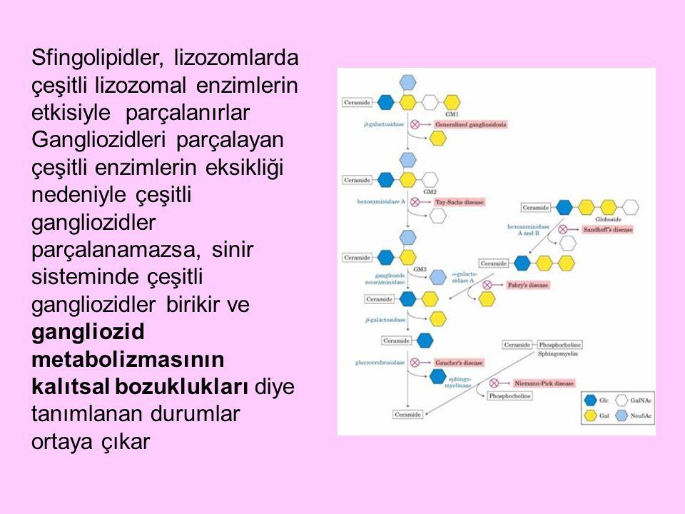 Sfingolipidler, lizozomlarda çeşitli lizozomal enzimlerin etkisiyle parçalanırlar