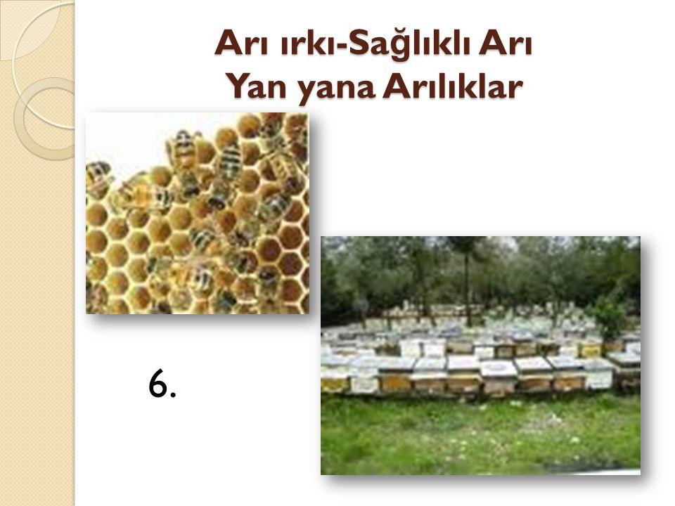 Arı ırkı-Sağlıklı Arı Yan yana Arılıklar