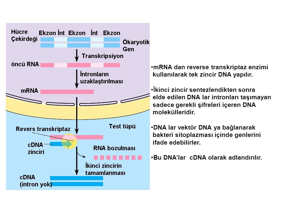 mRNA dan reverse transkriptaz enzimi