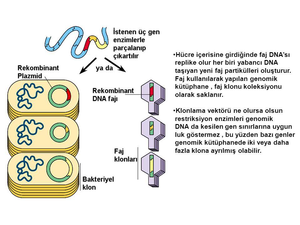 Hücre içerisine girdiğinde faj DNA'sı