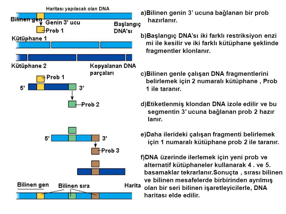 a)Bilinen genin 3' ucuna bağlanan bir prob hazırlanır.
