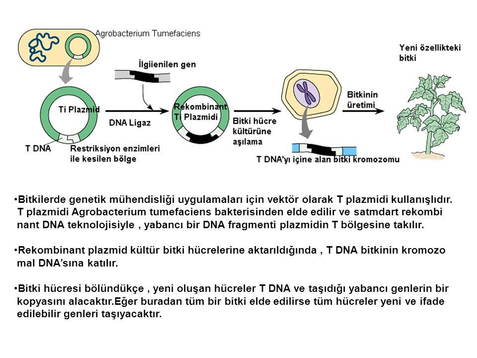 Bitkilerde genetik mühendisliği uygulamaları için vektör olarak T plazmidi kullanışlıdır.
