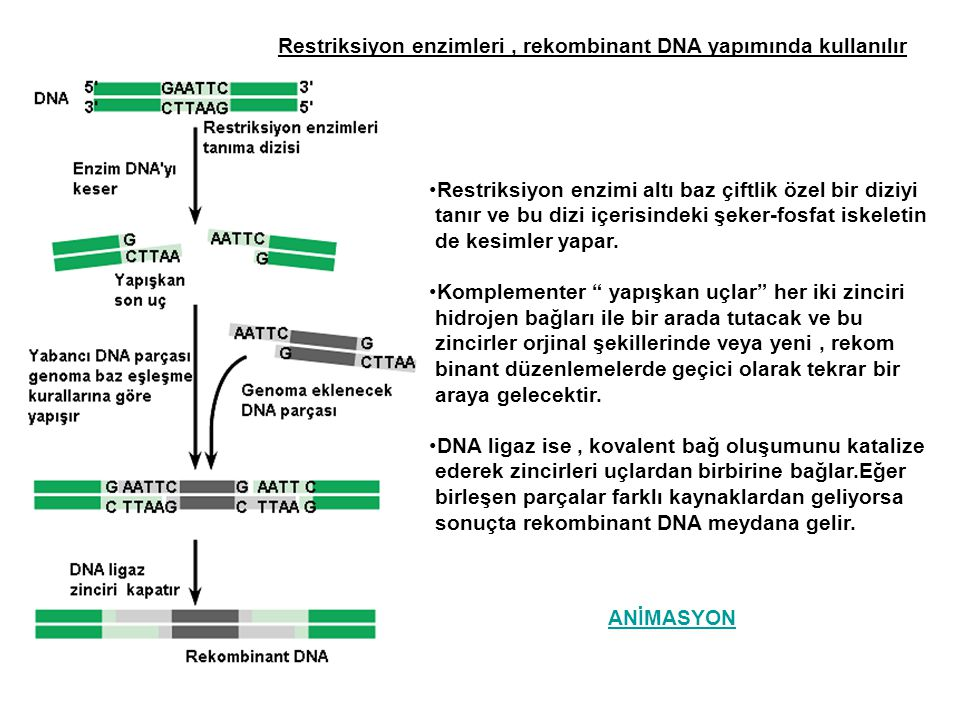 Restriksiyon enzimleri , rekombinant DNA yapımında kullanılır