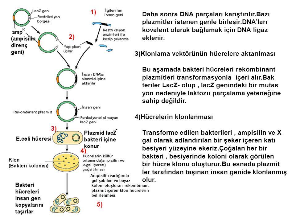 Daha sonra DNA parçaları karıştırılır.Bazı